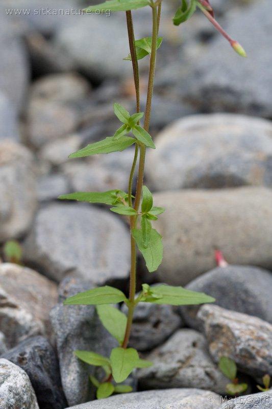 Willowherb (Epilobium hornemannii)