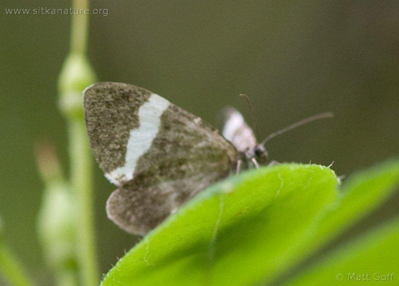 White-striped Black Moth (Trichodezia albovittata)
