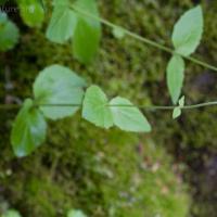 Broad-leaf Arnica (Arnica latifolia)