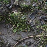 Brown Bear (Ursus arctos) track