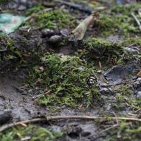 Brown Bear (Ursus arctos) track