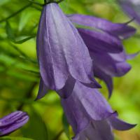 Common Harebell (Campanula rotundifolia)