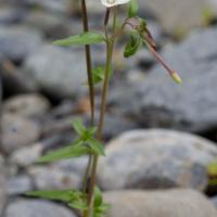 Willowherb (Epilobium hornemannii)