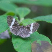 White-striped Black Moth (Trichodezia albovittata)