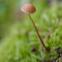 Little Brown Mushroom