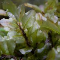 Rhizomnium magnifolium