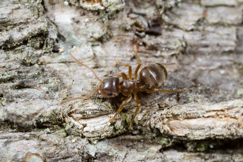 Brown Ant (Lasius sp)