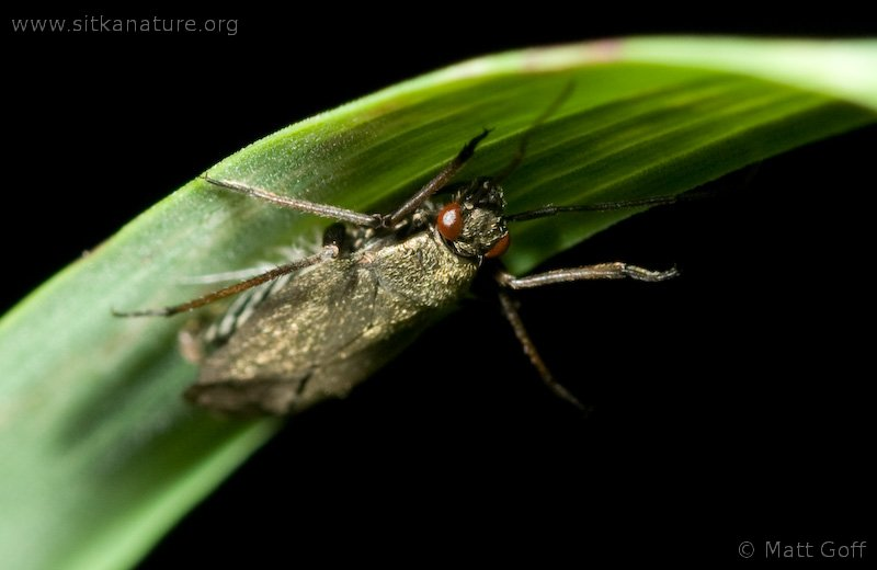 Plant Bug killed by Fungi