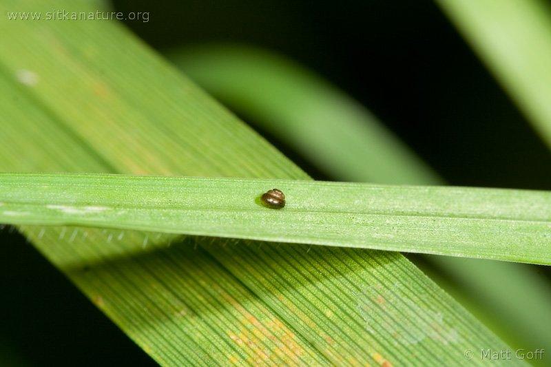 Toothless Chrysalis Snail (Columella edentula)