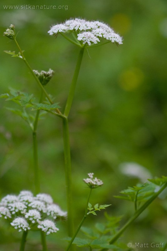 Pacific Water-parsley (Oenanthe sarmentosa)