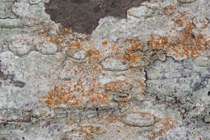 Algae on Lichen
