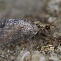 Brown Lacewing (Hemerobiidae sp)