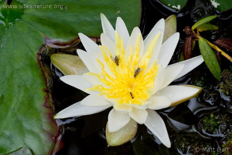 Fragrant Waterlily (Nymphaea odorata)