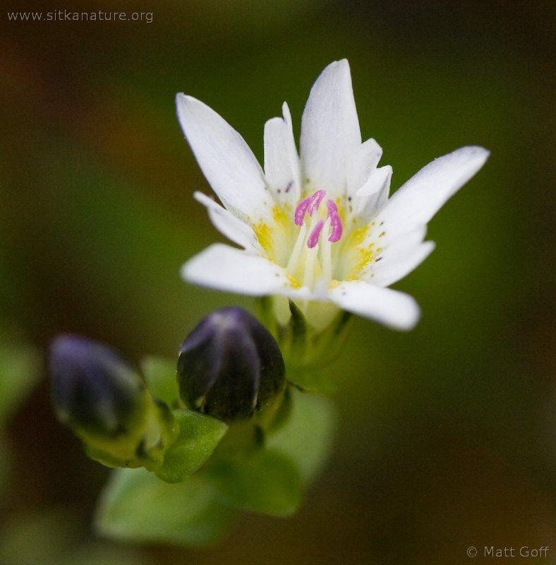 Swamp Gentian (Gentiana douglasiana)