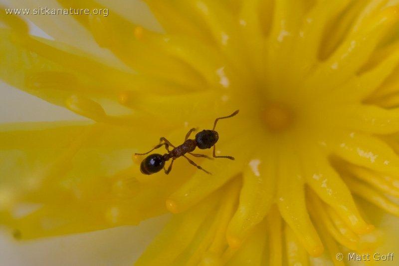 Muskeg Ant (Myrmica sp)