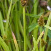 Sawbeak Sedge (Carex stipata)