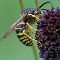Northern Aerial Yellowjacket (Dolichovespula norvegicoides)