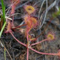 Sundew (Drosera rotundifolia)