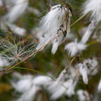 Tall Cottongrass (Eriophorum angustifolium)