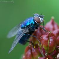 Blue Fly (Diptera sp)