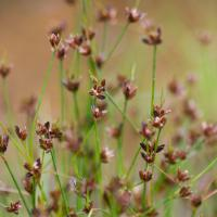 Rush (Juncus sp)