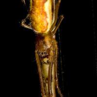 Muskeg Spider