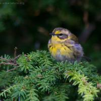 Townsend's Warbler (Dendroica townsendi)