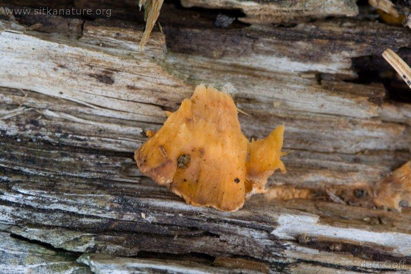 Orange Felt Fungus