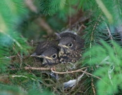 Hermit Thrush Nest with Young