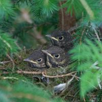 20070801-Hermit Thrush Nest with Young_thrush-5.jpg