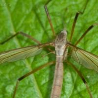 20070804-crane_fly-3.jpg
