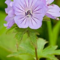 20070809-geranium_erianthum.jpg