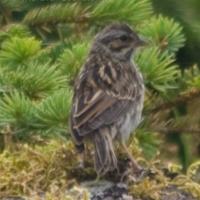 20070809-savannah_sparrow-2.jpg