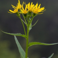 20070809-senecio_triangularis-1.jpg