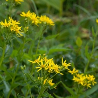 20070809-senecio_triangularis-2.jpg
