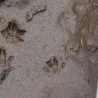 20070809-small_mammal_tracks-2.jpg