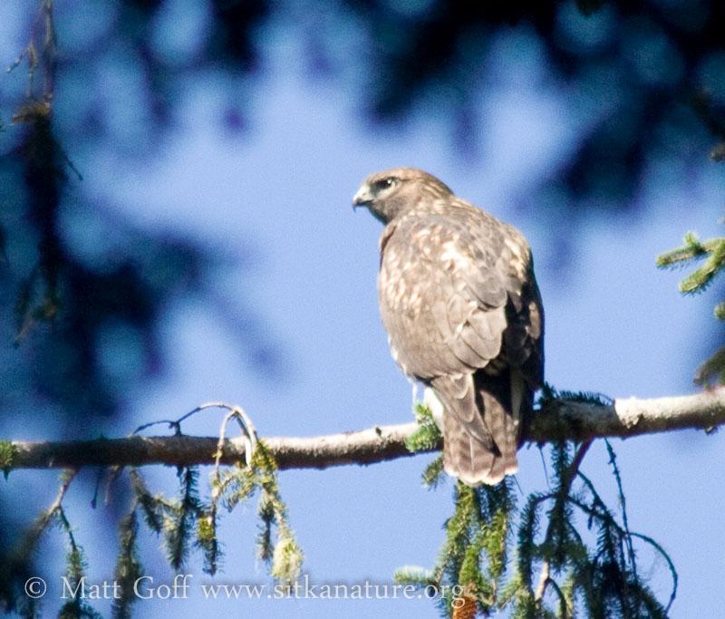 20070812-20070812-red-tailed_hawk-4.jpg