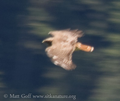 20070812-20070812-red-tailed_hawk-5.jpg