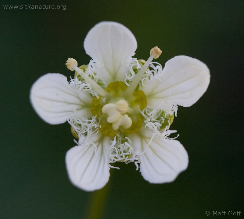20070812-parnassia_fimbriata-1.jpg