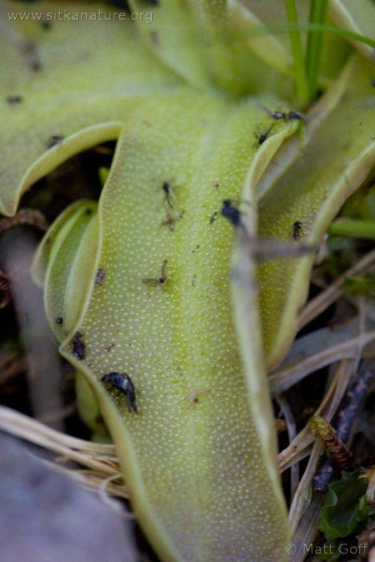 20070812-pinguicula_vulgaris-2.jpg