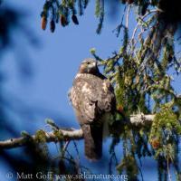 20070812-20070812-red-tailed_hawk-1.jpg