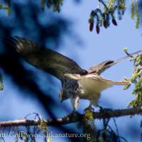 20070812-20070812-red-tailed_hawk-2.jpg