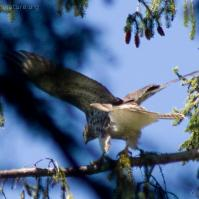 20070812-red-tailed_hawk-2.jpg