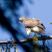 20070812-red-tailed_hawk-3.jpg