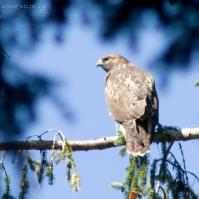 20070812-red-tailed_hawk-4.jpg