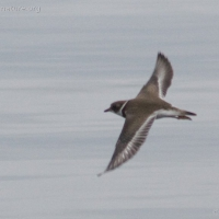 20070818-semipalmated_plover-1.jpg
