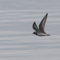 20070818-semipalmated_plover-2.jpg