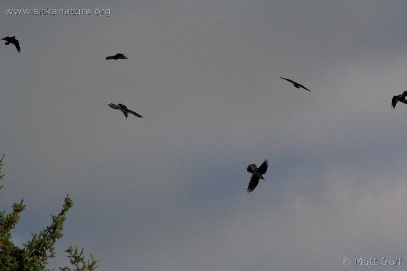 20070822-ravens-1.jpg