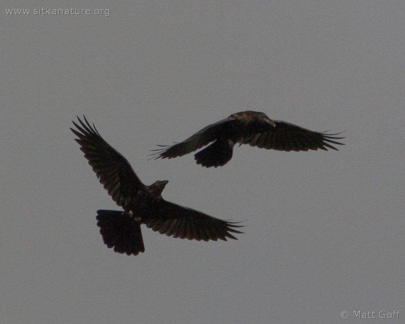20070822-ravens-3.jpg