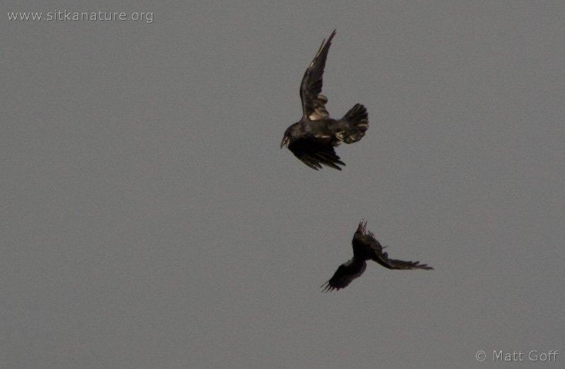 20070822-ravens-7.jpg